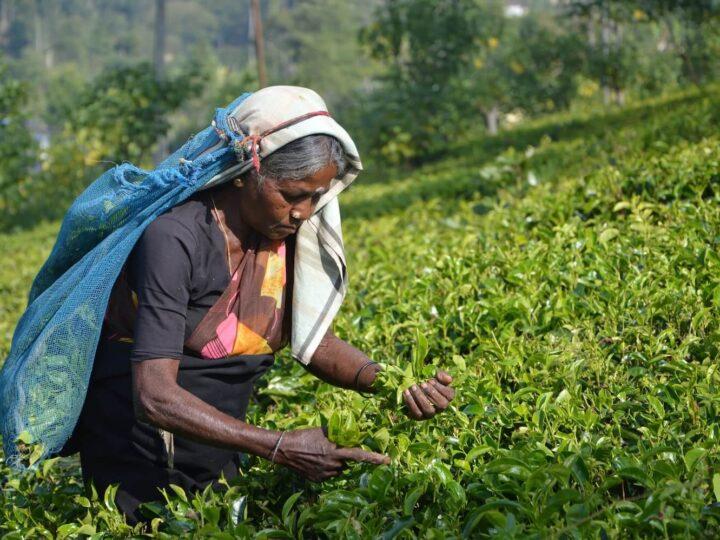 Battleground Sri Lanka: Can Organic Farming feed a Nation ?