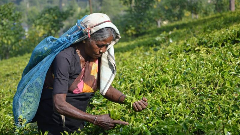 Sri Lanka Goes Organic