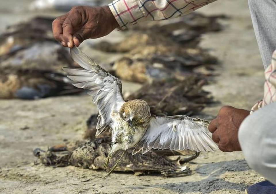 Thousands of migratory birds die in Sambhar Lake in Rajasthan