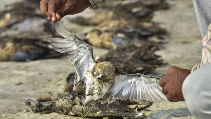 birds die in Sambhar Lake